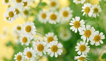 Ромашка цветы фото